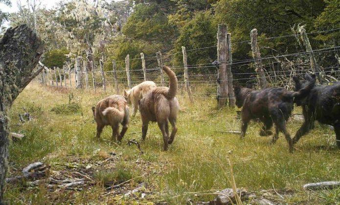 Perros-asilvestrados2-695×420